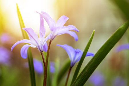 Floral spring nature landscape wild lilac flowers in a meadow on the background of the Sunny sky. Dreamy gentle airy artistic image of early morning. Soft focus. Stok Fotoğraf