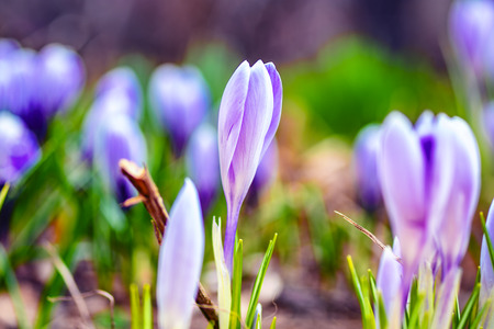 Floral spring nature landscape lilac flower in meadow. Dreamy gentle image of morning. Soft focus.