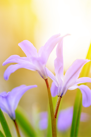 Floral spring nature landscape wild lilac flowers in meadow on the background  Sunny light. Dreamy gentle image of early morning. Soft selective focus.