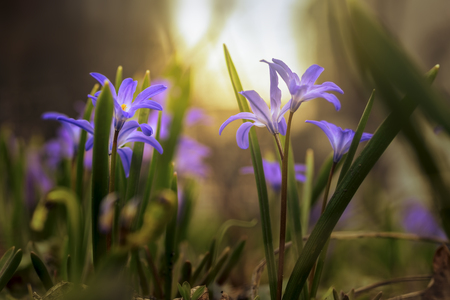 Spring wild blue flowers on mystical, fabulous meadow in sunny light. Dreamy gentle artistic image.