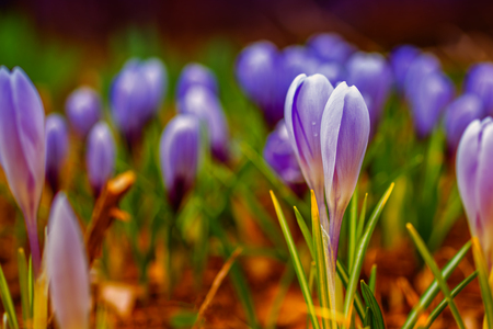 Spring banner, young fresh shoots flowers with unopened buds in the open air, soft focus, gentle light. Purple, blue and white flowers of crocuses, dreamy romantic image of spring, Macro landscape.