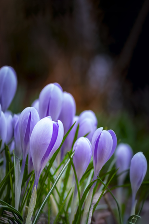 Young fresh shoots flowers with unopened buds, soft focus, gentle light, dark background. Violet flowers of crocuses, dreamy romantic image of spring, Macro, copy space.