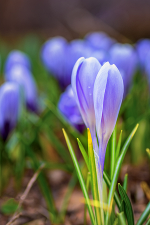 Young fresh shoots flowers with unopened buds in the open air, soft focus, gentle light. Violet flowers of crocuses, dreamy romantic of spring, Macro.