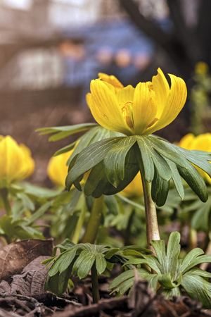 Young fresh shoots flowers on the flowerbed, gentle light. Yellow flowers, dreamy romantic of spring, Macro. Stok Fotoğraf