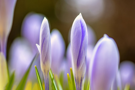 Young fresh shoots flowers with unopened buds, soft focus, gentle light. Violet flowers of crocuses, dreamy romantic of spring, Macro. Stok Fotoğraf