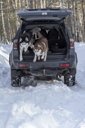 Siberian husky dogs jump out of the trunk of the car in the snow. Walk with your favorite Pets in the winter forest. Stok Fotoğraf