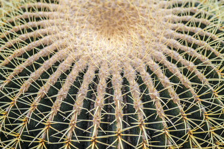 Closeup of spines on big globular cactus, background cactus with spines.