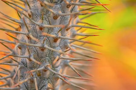 Cactus barbed stem on the orange. Stok Fotoğraf