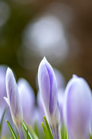 Beautiful flowers. Young spring flowers with unopened delicate buds.