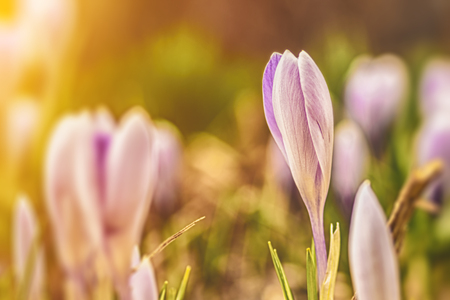 Floral spring nature landscape lilac flowers. Dreamy gentle twilight in the forest. Soft focus.