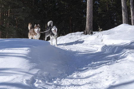 Siberian husky dogs run in the winter Sunny forest on a snow-covered path. Playing with dogs on the street. Winter walk on a Sunny frosty day. Stok Fotoğraf