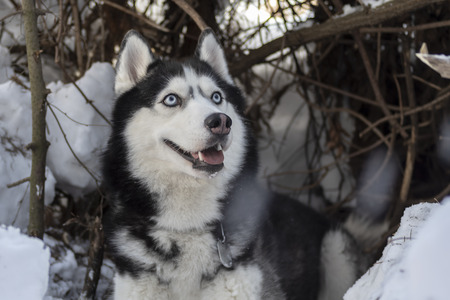 Portrait of a blue eyed beautiful smiling Siberian Husky dog with tongue sticking out, winter forest background with copy space.