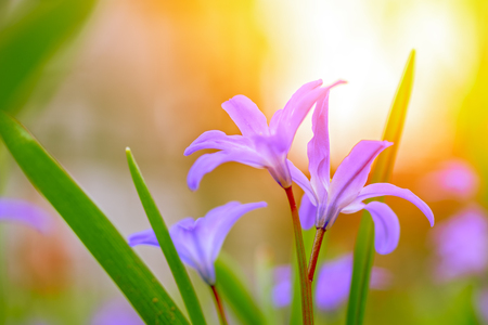 Turquoise pink delicate flowers in pastel shades on a blurred sunny background, close-up. Fresh spring flowers in the garden with soft sunlight for flower poster, Wallpaper or holiday card. Soft focus Stok Fotoğraf