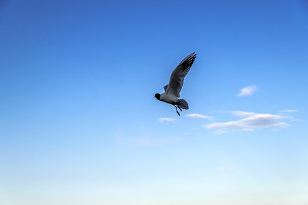 Seagull silhouette against blue sky. White bird seagull flying in the clear sky. Wild seagull with natural blue background