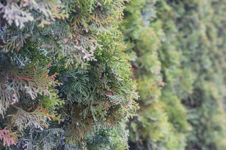 Plant background - branches of lush blue-green thuja arborvitae. Hedgerow.  Closeup of Beautiful green christmas leaves of Thuja trees on green background. Thuja - evergreen coniferous tree