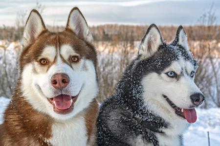 Dogs on winter walk. Portrait two siberian husky dogs in snow.
