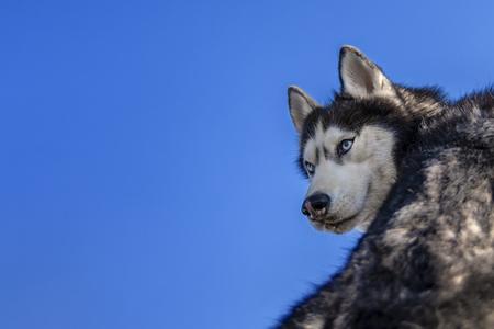 Siberian Husky Dog turn around Isolated on blue background.