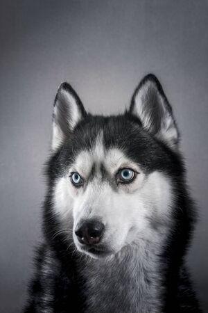 Cute portrait husky with blue. Studio portrait siberian husky dog on grey eyes background in studio. Front view. Фото со стока
