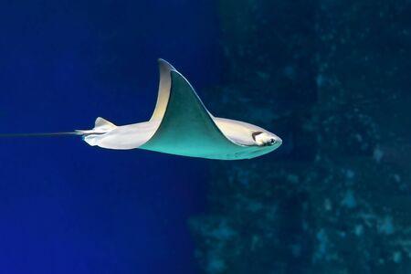 Stingray swimming underwater in sunlight, side view.