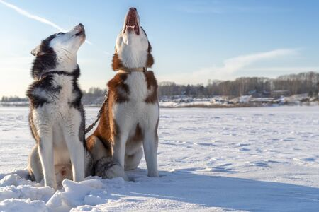 Dogs howl. Two Siberian huskies dogs howl with their muzzles up. Winter. Archivio Fotografico - 128743906