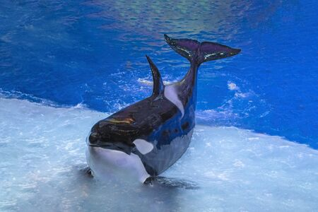 Killer whale on performance in the large Oceanarium. Marine animals in front of the audience