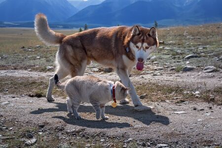 Cat and dog. Friends husky Dog and cat walk along the road together, sunny summer day. Pets walk together in the mountains. Stock Photo