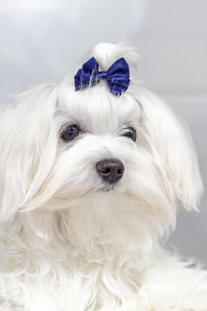 Portrait Maltese lapdog with blue bow on his head. Close-up portrait small white dog with long hair.