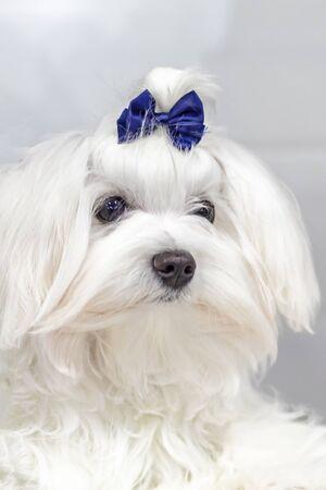 Portrait maltesischer Schoßhund mit blauer Schleife auf dem Kopf. Kleiner weißer Hund des Nahaufnahmeporträts mit dem langen Haar.