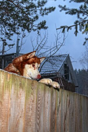 Dog looking over fence. Dog peering over wooden fence, side view.