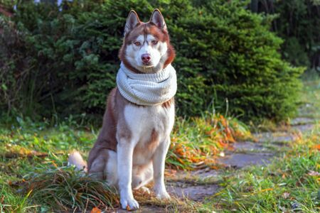 Portrait red Siberian husky dog in white scarf on background coniferous trees, autumn sunny cold day. Husky dog looks at camera.