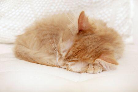 Rot gestreiftes Kätzchen, das zusammengerollt schläft. Standard-Bild