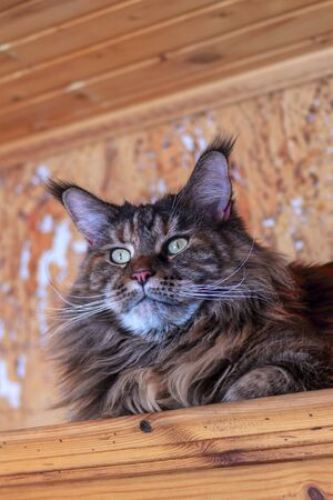 Portrait whiskered Maine Coon cat. Close-up fluffy big cat with tassels on ears