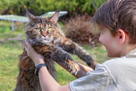 Boy Plays With Maine Coon Cat On Green Lawn Child Lifted The Cat With His Hands Cat Looks At The Camera Boy Looks At The Cat Lizenzfreie Fotos Bilder Und Stock Fotografie