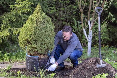 Man works in the garden. Prepares tree for planting by cutting packaging coniferous tree. Small spruce. Imagens