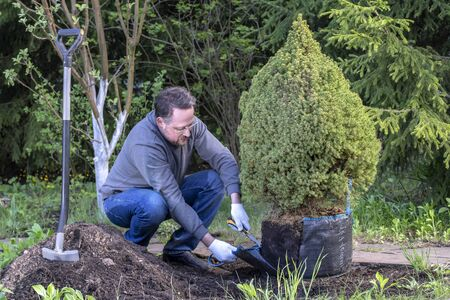 Male gardener prepares young tree for planting. Man cuts and removes the shipping package from the roots spruce sapling.