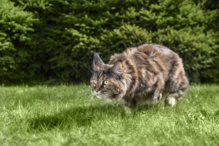Maine Coon cat is hunting.