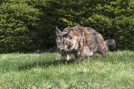 Maine Coon cat hunting in the summer sunny park.