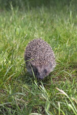 Hedgehog on the green grass, front view.