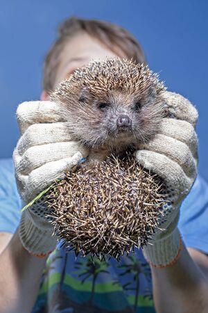 Gloved hands hold a hedgehog. Bottom view.
