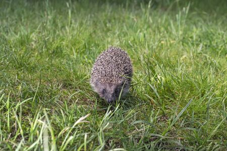 Hedgehog run on the green grass, front view.