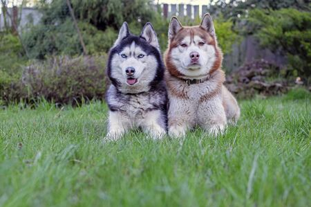 Two Siberian husky dogs lie on the green grass in the evening garden. Front view.