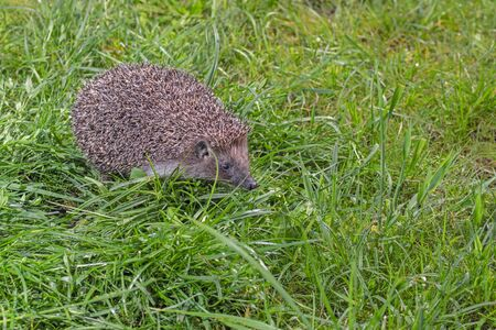 Hedgehog on the green grass, side view.