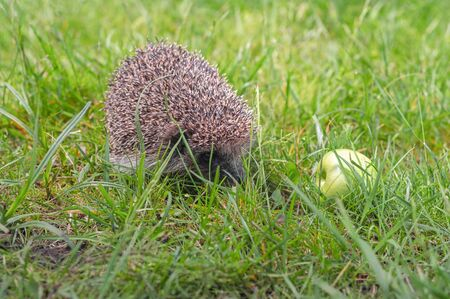 Hedgehog with apple green lawn.