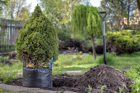 Sapling coniferous tree is prepared for planting in the park. Landscape design, sunny  morning, soft warm lighting.