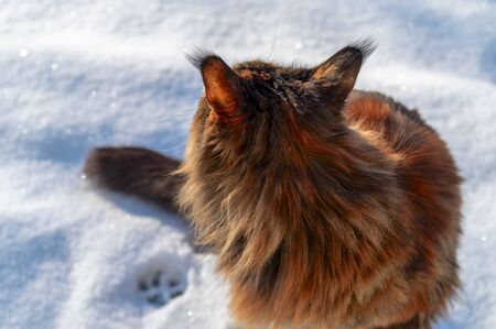 Maine Coon cat in the snow, rear view. Cat walks in clear winter day, paw print on the snow.