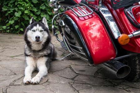 Husky dog lies near the motorcycle. Standard-Bild