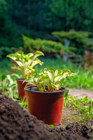 Potted plants in the Park. Young Hosta seedlings prepared for transplanting in the garden. Gardening.