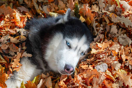 Husky dog lying in the leaves. Siberian husky playing in the fallen leaves in sunny autumn forest. Fall foliage. Standard-Bild