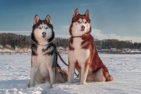 Siberian husky dogs on the background of winter landscape. Husky sitting on the snow, sunny background, blue sky, snow field.