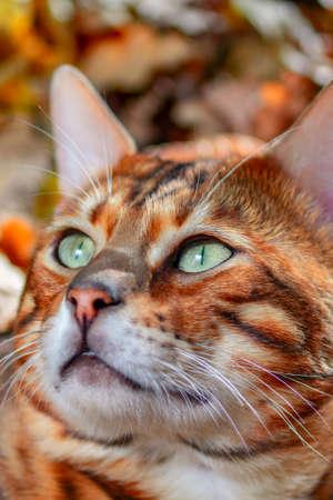 Portrait bengal cat, muzzle cat, close up.